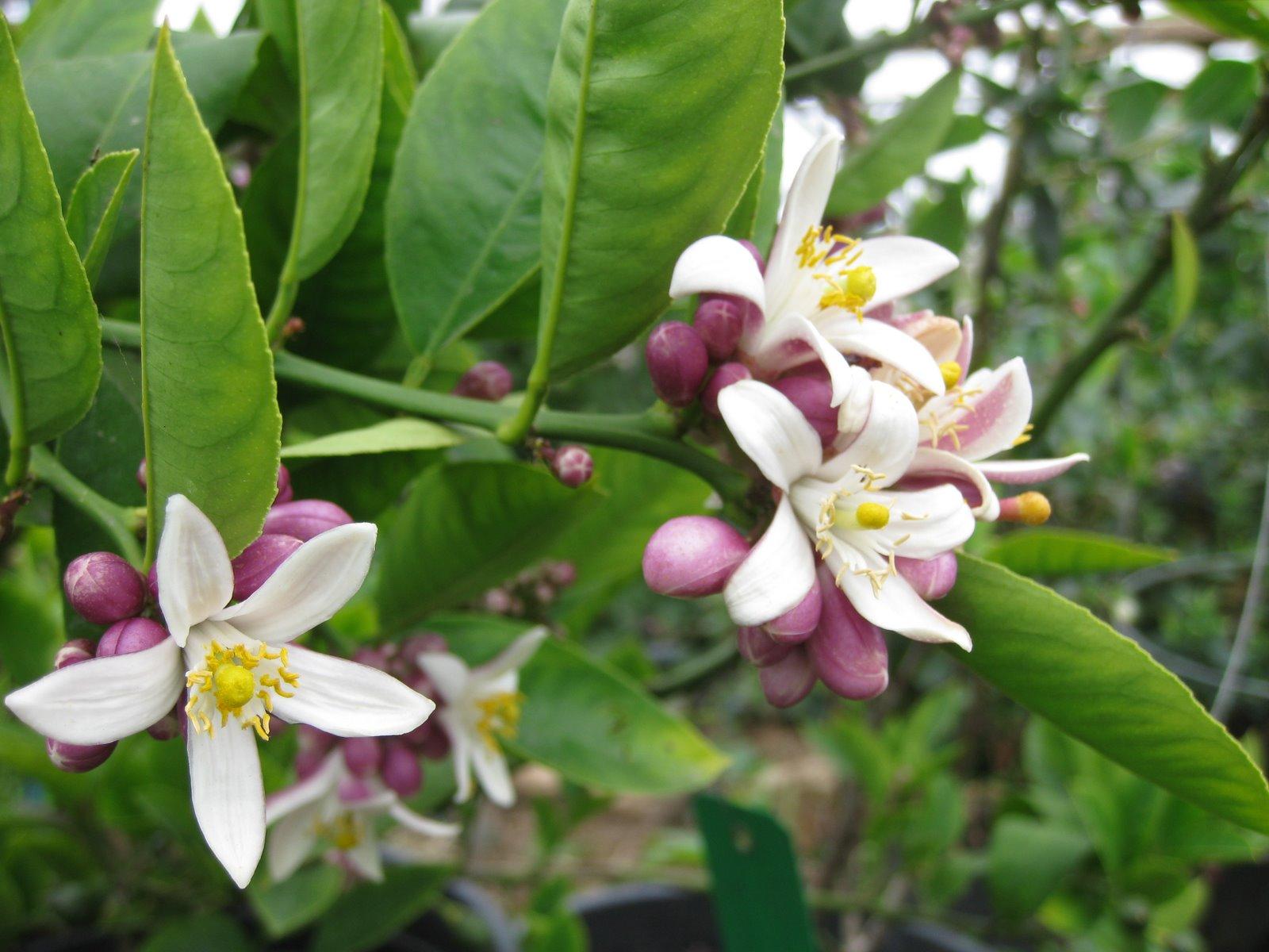 Làm thế nào để cây ăn trái ra hoa đồng loạt và đúng vụ mùa ?